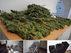 Cinco detenidos en Hellín al desmantelar una plantación de marihuana lista para la venta