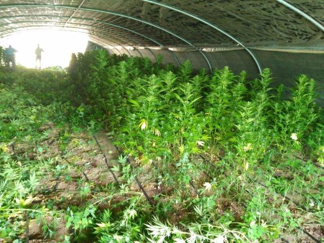 Plantas de marihuana localizadas en el invernadero