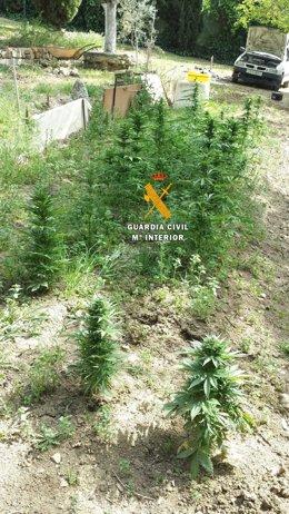 Plantación marihuana arriate guardia civil