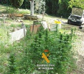 La Guardia Civil desmantela un cultivo de 46 plantas de marihuana en Arriate