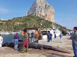 Una embarcación de pesca de Calp captura un tiburón peregrino de ocho metros y cuatro toneladas