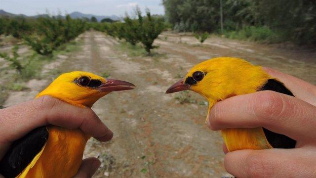 Imagen de dos de los ejemplares anillados