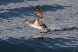 El Senado insta al Gobierno a reforzar los planes de conservación para frenar la extinción de la pardela balear