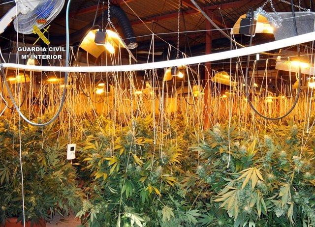 Invernadero de marihuana desmantelado