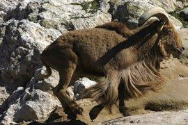 La Fundación Artemisan denuncia el exterminio del arruí en España y pide su descatalogación como especie invasora