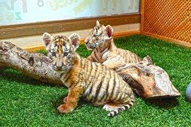Terra Natura envía a Cabárceno dos tigresas para crear un grupo