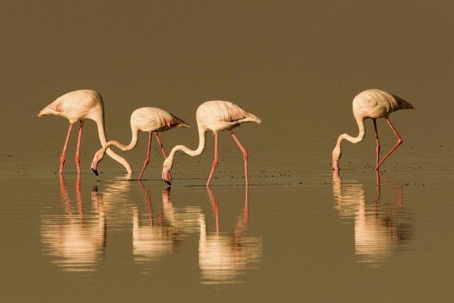 Los flamencos recalan en lagunas y humedales cordobeses