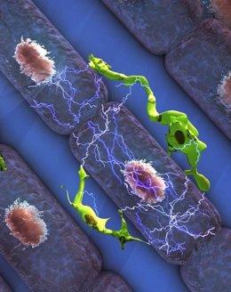 Los macrófagos, esenciales para un ritmo cardiaco saludable