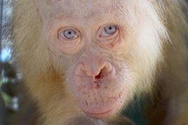"""Rescatan en Indonesia a una orangután albina """"extremadamente rara"""" que estaba en cautividad"""
