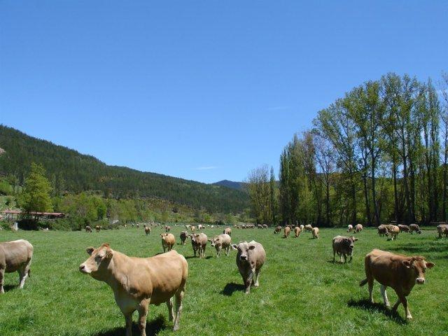 Vacas en La Garcipollera