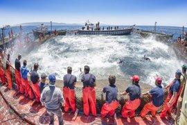 El viento marca la temporada en las almadrabas, que espera este viernes cambios para las 'levantás' de atún rojo