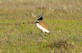 Se reducen a la mitad las poblaciones de sisón común en España durante la última década, según SEO/Birdlife