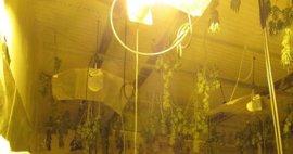 Intervienen 801 plantas de marihuana tras desmantelar cuatro cultivos en vivienda de Vélez