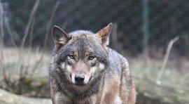 Los ataques de lobo al sur del Duero descienden por primera vez desde 2008