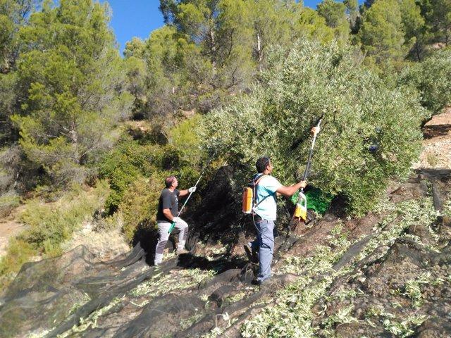 Recogida de aceituna en olivares