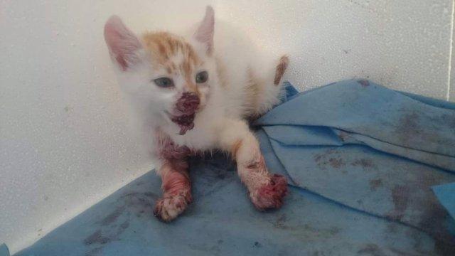 Imagen del último gato maltratado recogido por las protectoras en Laredo
