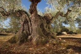 Instantánea de un olivo milenario en el Maestrazgo