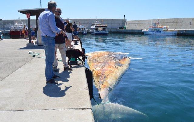 Cadáver de la ballena encontrada en Lloret de Mar