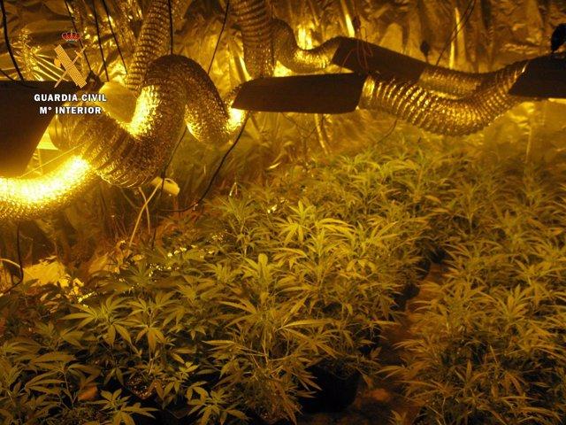 Salamanca: Plantación De Marihuana