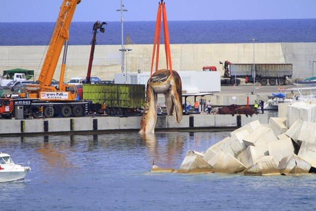 Trasladan una ballena muerta aparecida en Lloret de Mar (Girona)
