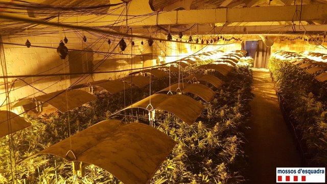 Plantación de marihuana con 4.500 plantas en una nave de Puiggròs
