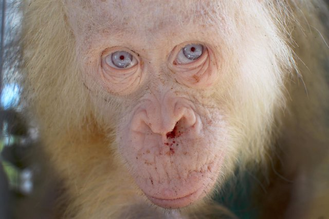 Orangután albina rescatada en Indonesia