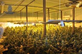 Desmantelada una plantación de marihuana con 442 plantas en Valdepeñas