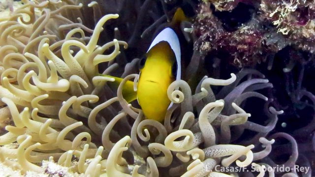 El CSIC finaliza un estudio sobre el pez payaso