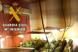 Cinco detenidos en Toledo tras desmantelar dos laboratorios con 796 plantas de marihuana