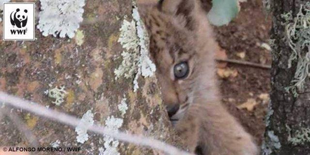 Cachorro de lince recién nacido en Sierra Morena