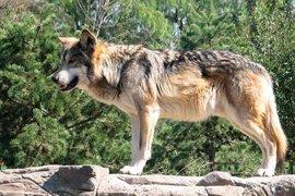 """Los ganaderos tienen """"un enfado mayúsculo"""" por la iniciativa del Congreso para proteger al lobo en toda España"""