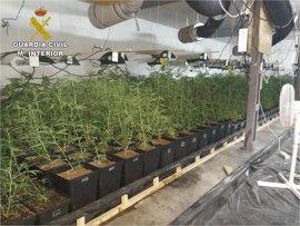 Destapan en Monóvar una sofisticada plantación de marihuana de más de 1.400 plantas