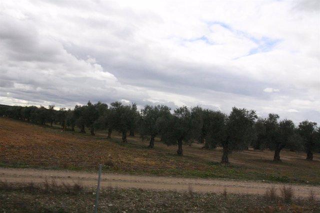 Olivos, Campo