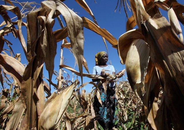 Agricultora cultivando maíz