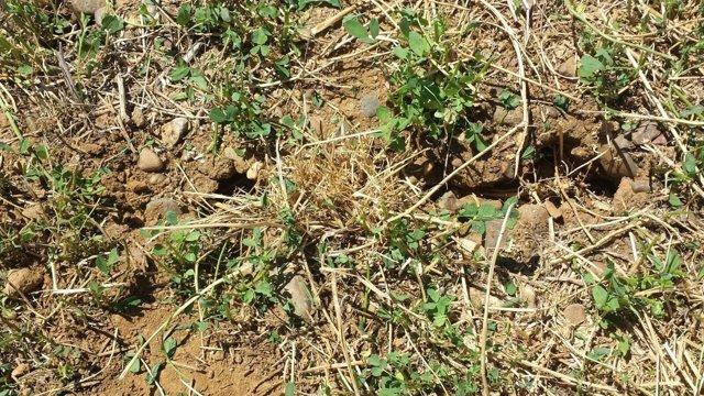Imagen de una parcela afectada por plaga de topillos