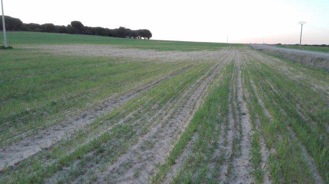 Una parcela de cereal afectada por la sequía