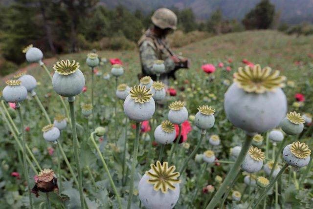 Un soldado mexicano en un campo de amapola en Guerrero, México