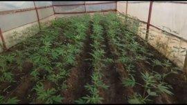 Detenida una mujer como titular de un invernadero con 180 plantas de marihuana en Los Palacios (Sevilla)