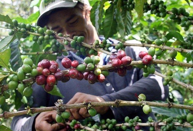 Recolector de café en colombia.