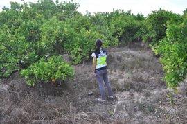Dos mujeres y dos hombres detenidos por comerciar en Alzira con naranjas de procedencia ilícita