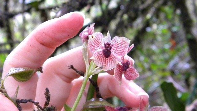 Telipogon diabolicus, una orquídea con cabeza de diablo