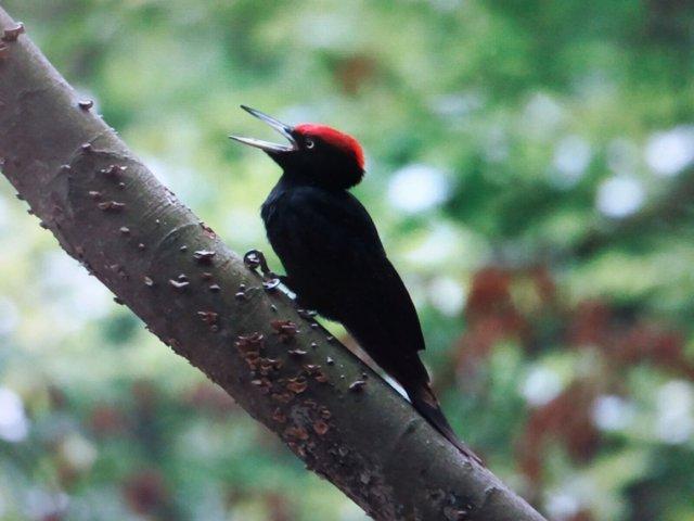 Pájaro pito negro