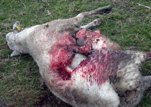 Ataque de lobos en Asturias