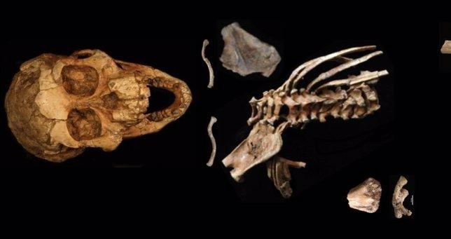 Ancestros humanos ya andaban erguidos hace 3,3 millones de años