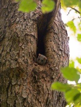 Un lirón en un árbol