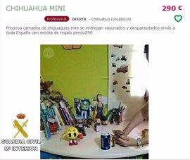 Investigan a una mujer por vender cachorros de chihuahua gravemente enfermos por Internet