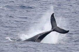 Más de 1,5 millones de ballenas, delfines y marsopas habitan el Atlántico europeo