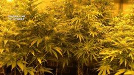 4.300 plantas de marihuana incautadas y 12 detenidos en Toledo, de un grupo criminal dirigido por chinos