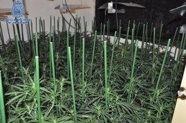 La Policía Nacional interviene 1.680 plantas de marihuana y detiene a 10 personas en Mallorca