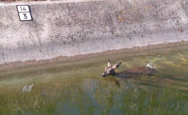 Rescatada una corza tras caer a un canal